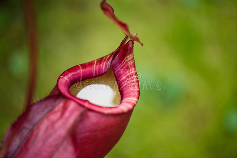 Κλείστε επάνω φλυτζανιών εγκαταστάσεων ή πιθήκων σταμνών Nepenthes των επίσης αποκαλούμενων τροπικών στις επικίνδυνες εγκαταστάσε στοκ φωτογραφίες