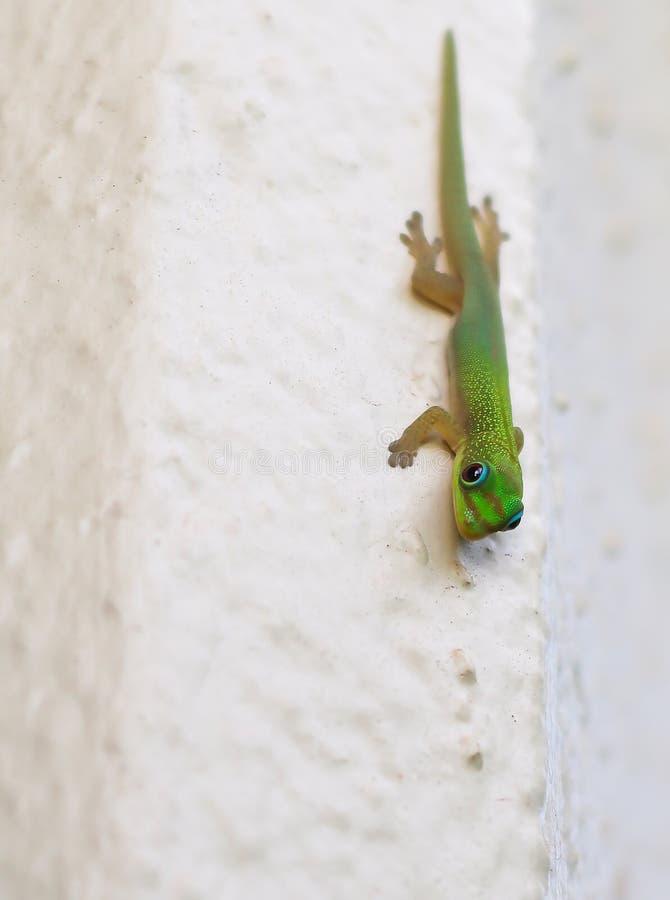 Κλείστε επάνω φωτεινό Gecko στον άσπρο τοίχο στοκ φωτογραφία