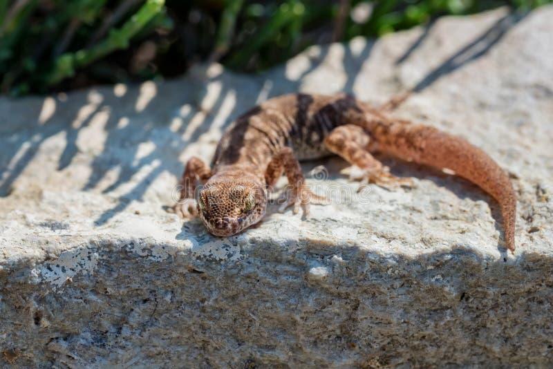 Κλείστε επάνω χαριτωμένο μικρό ομαλός-το γένος Alsophylax gecko στην πέτρα στοκ εικόνες