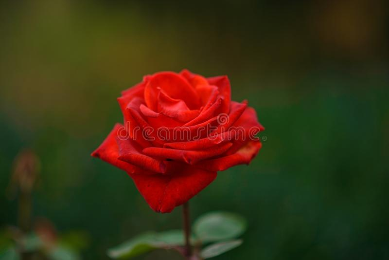 Κλείστε επάνω όμορφο άγριο ενιαίο κόκκινο αυξήθηκε σε ένα πράσινο υπόβαθρο φύσης στοκ εικόνα με δικαίωμα ελεύθερης χρήσης