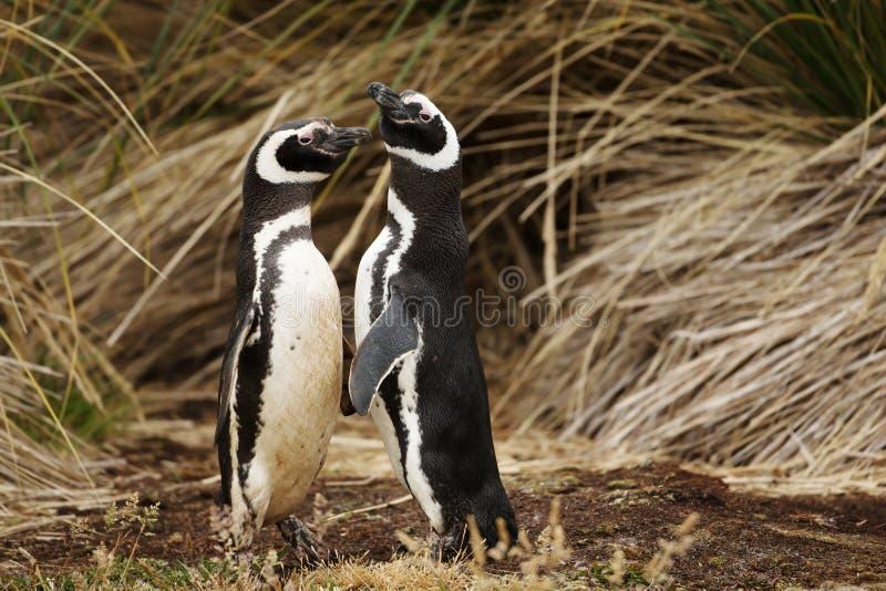 Κλείστε επάνω Magellanic penguins σε μια επίδειξη ερωτοτροπίας στοκ εικόνα