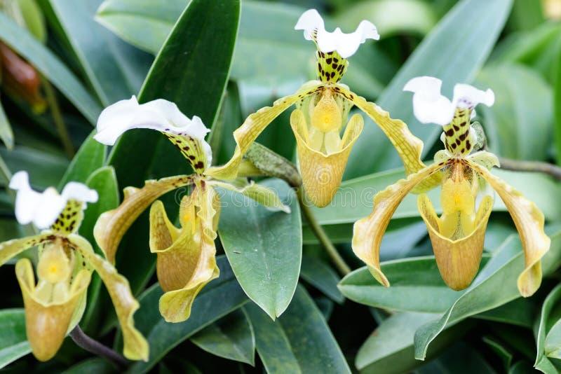 Κλείστε επάνω orchid γυναικείων παντοφλών στοκ φωτογραφία με δικαίωμα ελεύθερης χρήσης