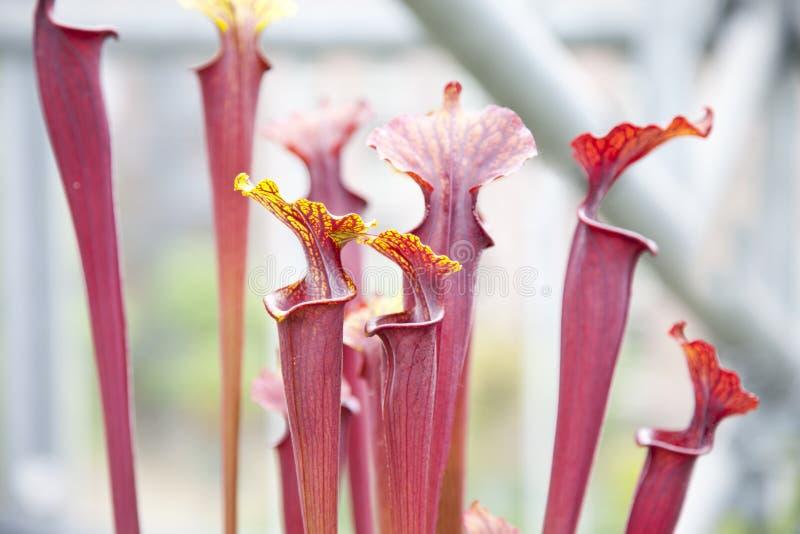 Κλείστε επάνω Sarraceniaceae στοκ φωτογραφία με δικαίωμα ελεύθερης χρήσης