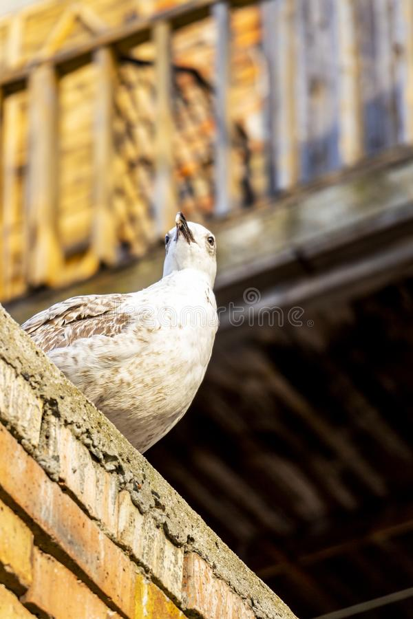 Κλείστε την άποψη χαμηλός-γωνίας νεανικό seagull στοκ εικόνες με δικαίωμα ελεύθερης χρήσης