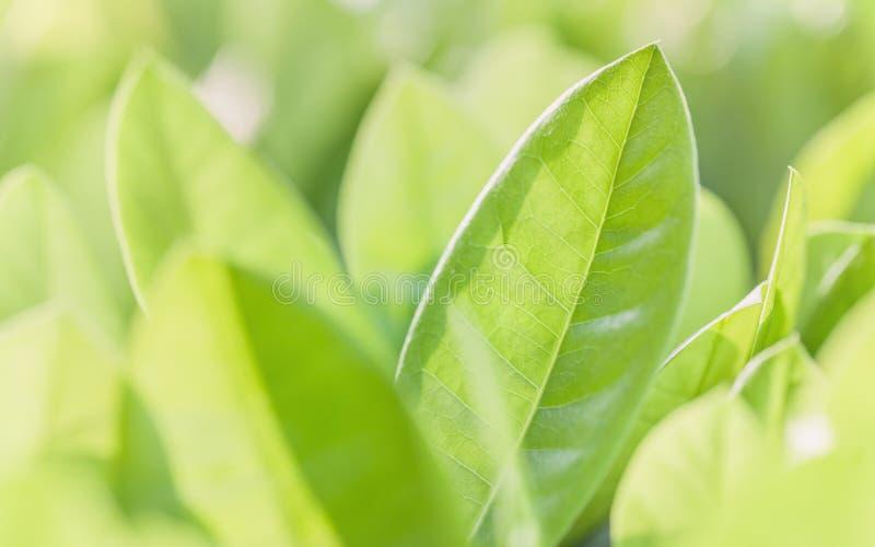 Κλείστε την επάνω και μαλακή εστίαση των πράσινων φύλλων πράσινη φύση ανασκόπησης στοκ εικόνες