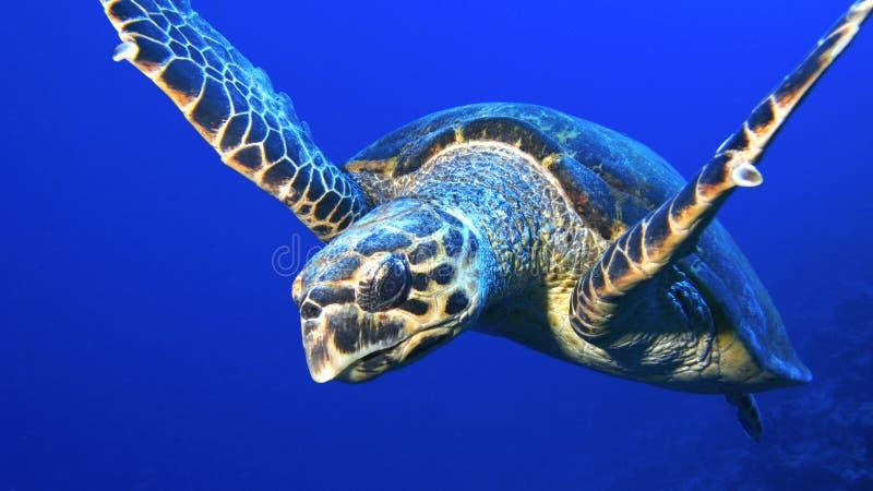 κλείστε τη χελώνα σύγκρο& στοκ φωτογραφία με δικαίωμα ελεύθερης χρήσης