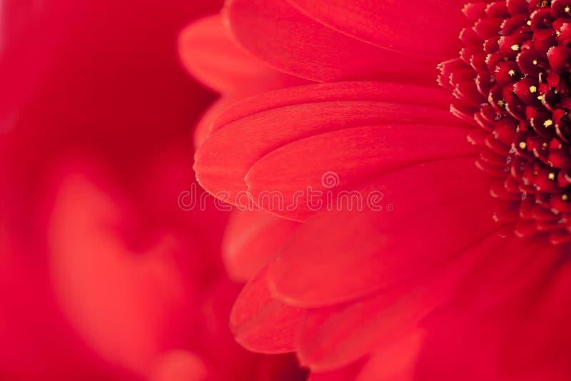 Download κλείστε το κόκκινο μαργ&al στοκ εικόνα. εικόνα από ροζ - 13182619
