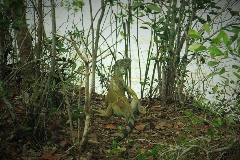 Κλειδιά της Φλώριδας ελών δέντρων Iguana στοκ εικόνα με δικαίωμα ελεύθερης χρήσης