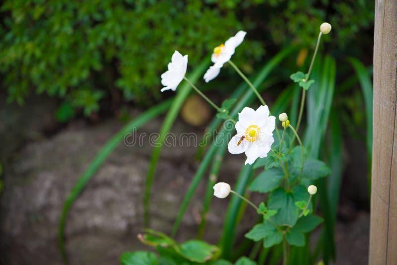 Κλειστά επάνω άσπρα λουλούδι και έντομο στοκ φωτογραφία με δικαίωμα ελεύθερης χρήσης