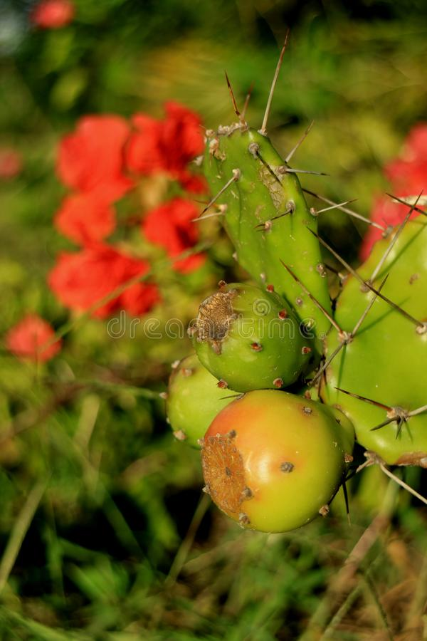 Κλειστά επάνω νέα Opuntia φρούτα κάκτων που αυξάνονται στις τραχιές εγκαταστάσεις κάκτων με τα ανθίζοντας κόκκινα λουλούδια στοκ εικόνες