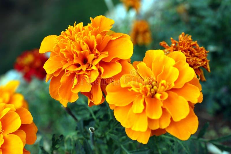Κλειστά πορτοκαλί λουλούδια μαριχρυσού στοκ φωτογραφίες