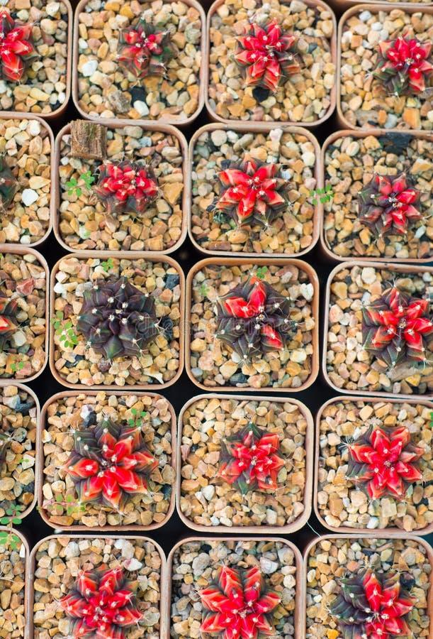 Κλειστός επάνω κάκτος στο δοχείο λουλουδιών στοκ εικόνες