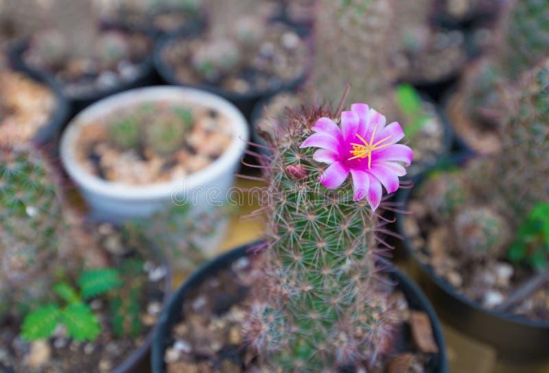 Κλειστό επάνω ρόδινο λουλούδι κάκτων στοκ φωτογραφία
