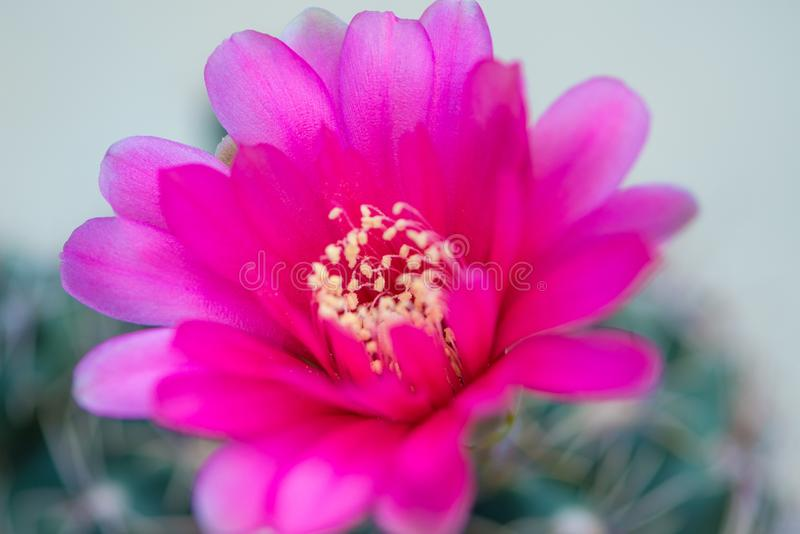 Κλειστό επάνω ρόδινο λουλούδι κάκτων στοκ φωτογραφίες με δικαίωμα ελεύθερης χρήσης