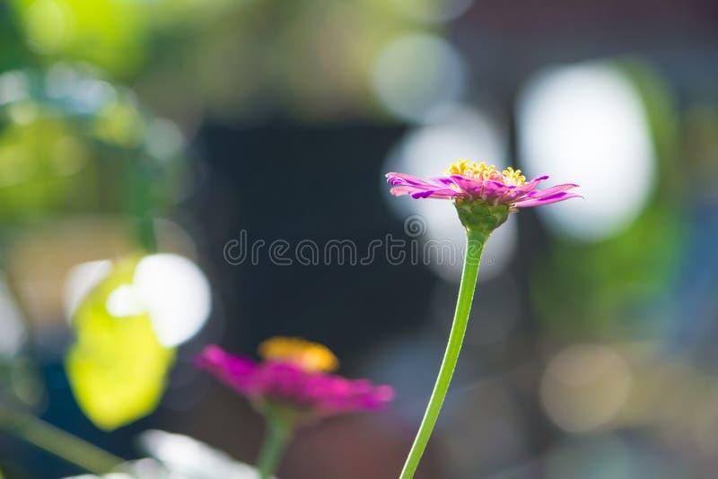 Κλειστό επάνω ρόδινο λουλούδι της Zinnia στοκ φωτογραφίες με δικαίωμα ελεύθερης χρήσης