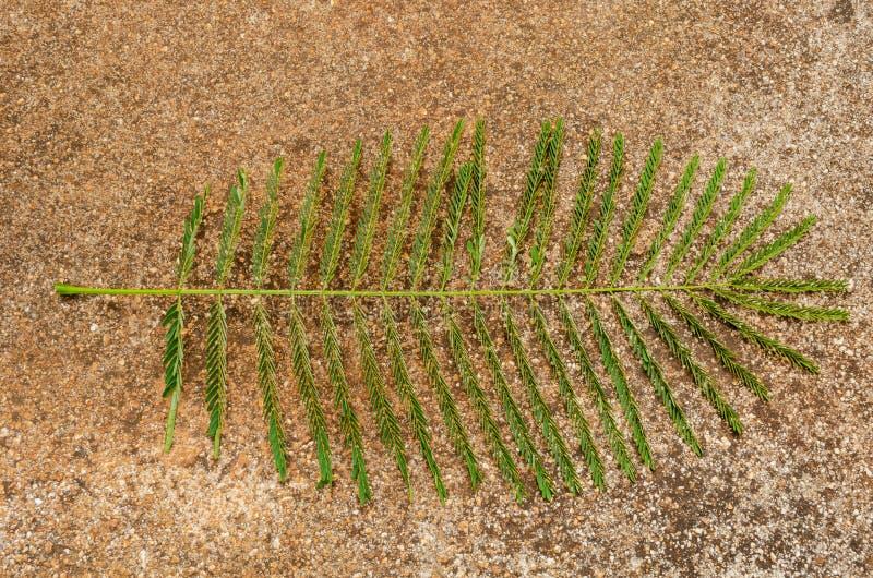 Κλειστό φύλλο φύλλων του προστατευόμενου δέντρου Poinciana στοκ φωτογραφίες με δικαίωμα ελεύθερης χρήσης