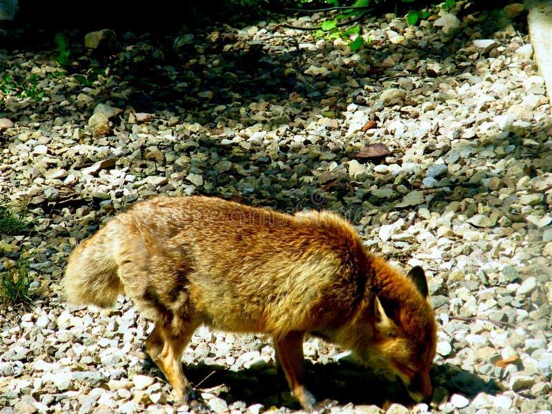 κοίταγμα αλεπούδων τροφίμων στοκ εικόνες