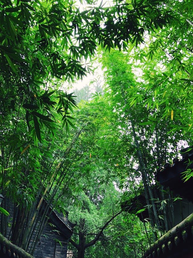 Κοίταγμα επάνω στα δασικά φύλλα μπαμπού στοκ φωτογραφίες με δικαίωμα ελεύθερης χρήσης