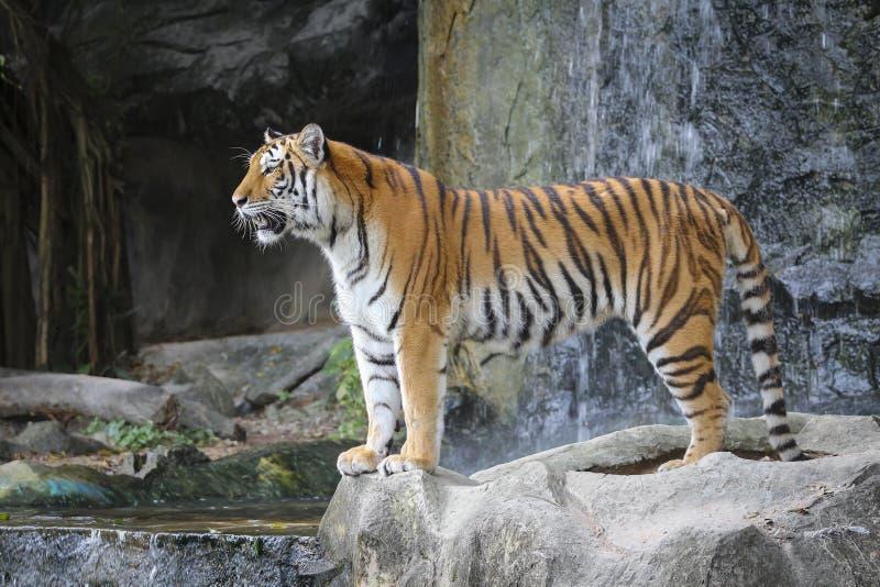 Κοίταγμα τιγρών Sumatran στοκ φωτογραφίες