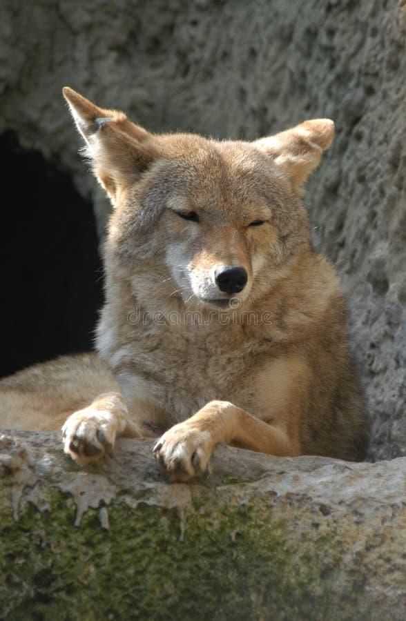 Download κογιότ στοκ εικόνα. εικόνα από γούνα, τρώγων, ματιά, albedo - 525465