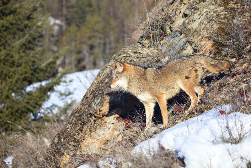 Κογιότ mountainside στοκ εικόνα με δικαίωμα ελεύθερης χρήσης