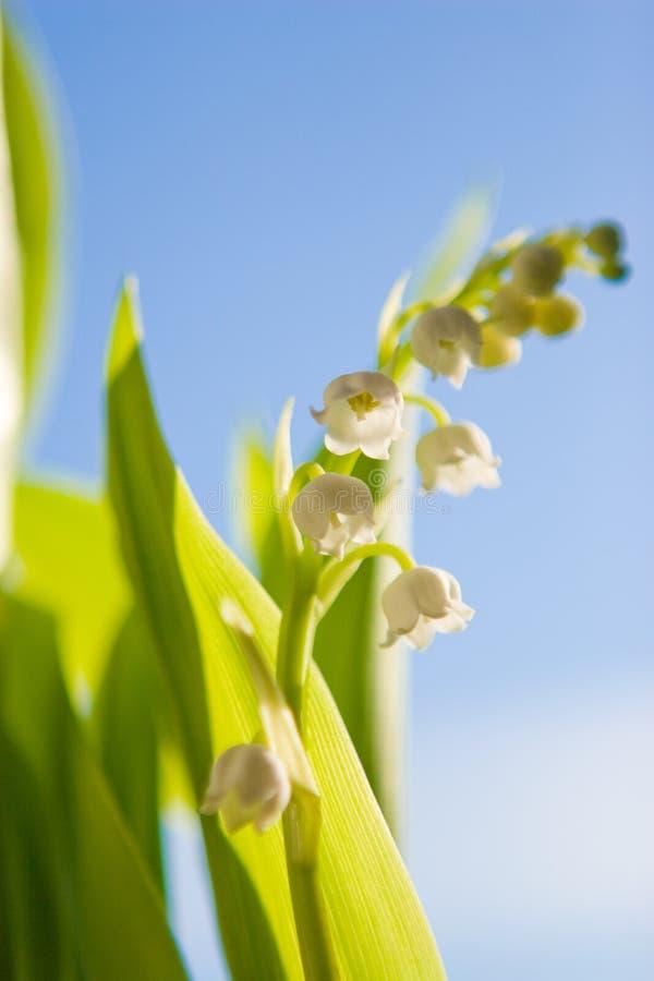 κοιλάδα κρίνων λουλουδιών στοκ φωτογραφίες