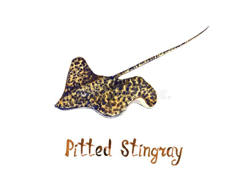 Κοιλαμένος stingray, απομονωμένος στο άσπρο υπόβαθρο ελεύθερη απεικόνιση δικαιώματος