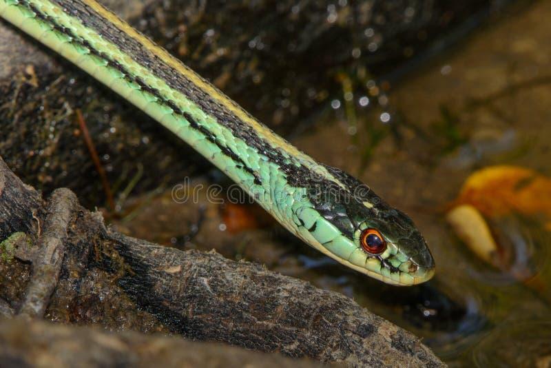 κοινά garter thamnophis φιδιών sirtalis στοκ εικόνες