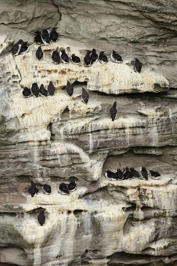 Κοινά guillemots που τοποθετούνται στους απότομους βράχους στοκ φωτογραφίες