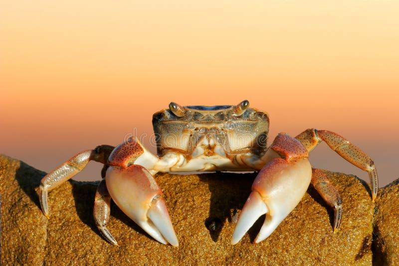 κοινή ακτή καβουριών στοκ φωτογραφία με δικαίωμα ελεύθερης χρήσης