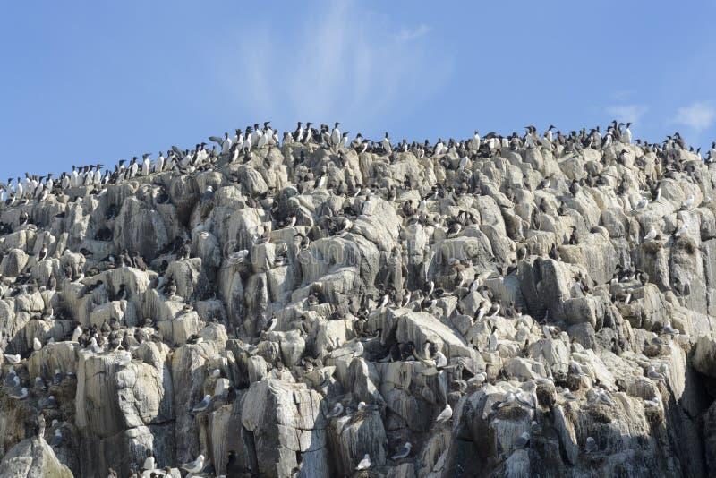 Κοινή αποικία Guillemot σε έναν απότομο βράχο στοκ φωτογραφία με δικαίωμα ελεύθερης χρήσης