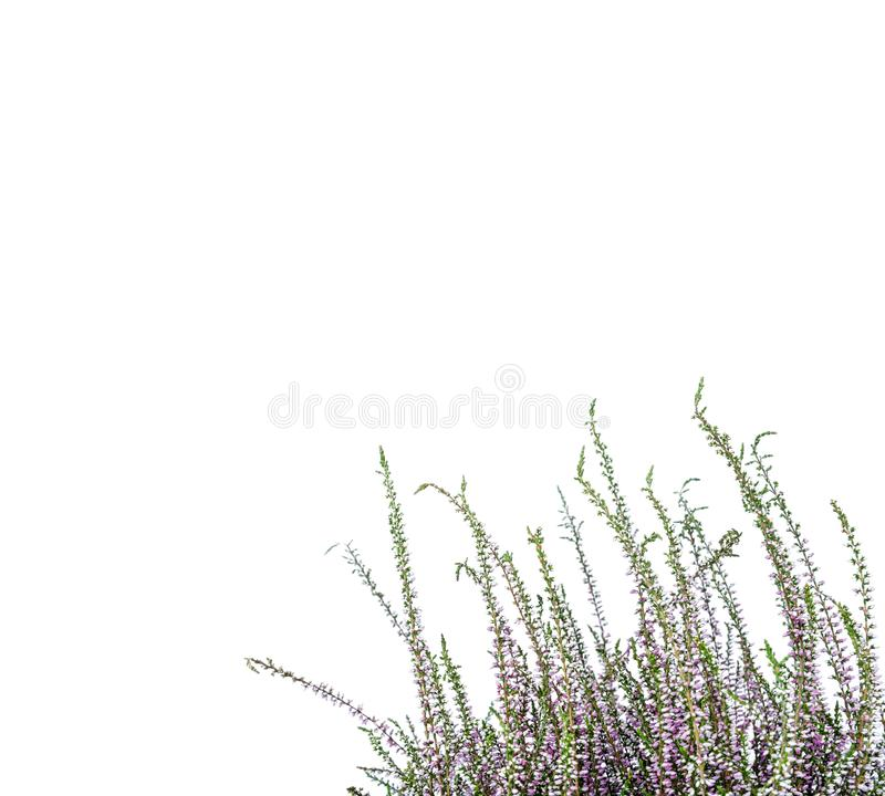 κοινή ερείκη Πορφυρά λουλούδια ερείκης που απομονώνονται στο άσπρο υπόβαθρο στοκ εικόνες
