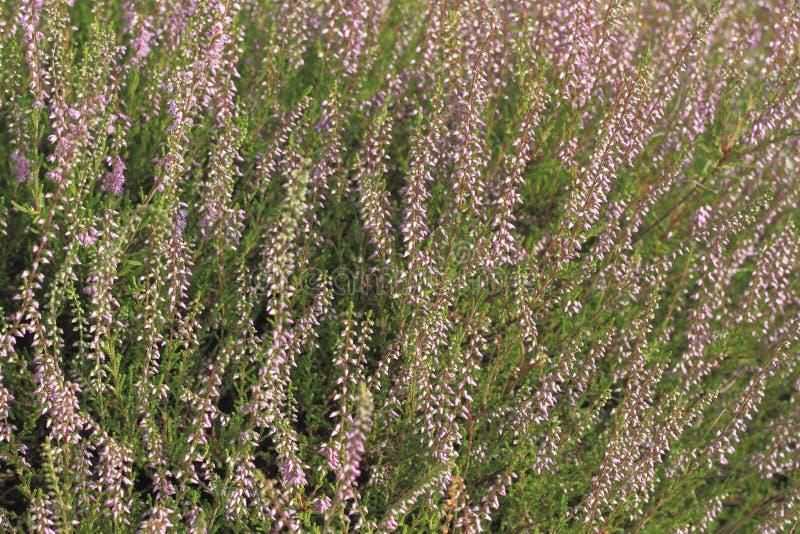 Κοινή ερείκη (Calluna vulgaris) στοκ εικόνα