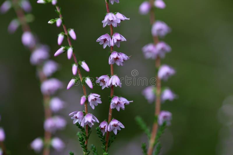 Κοινή ερείκη (Calluna vulgaris) στοκ φωτογραφία με δικαίωμα ελεύθερης χρήσης