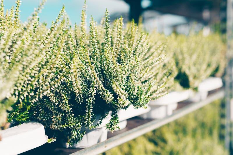 Κοινή ερείκη, vulgaris λευκό Calluna στοκ εικόνα με δικαίωμα ελεύθερης χρήσης