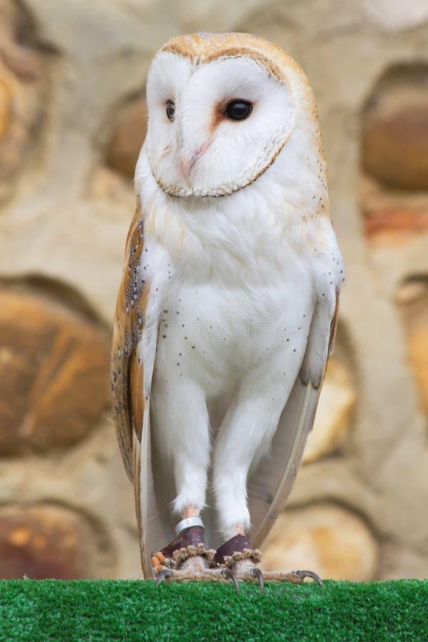 Κοινή κουκουβάγια Tyto Alba στοκ εικόνες