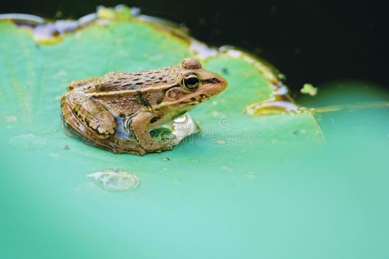 Κοινή λιμνούλα βάτραχος στοκ φωτογραφία με δικαίωμα ελεύθερης χρήσης