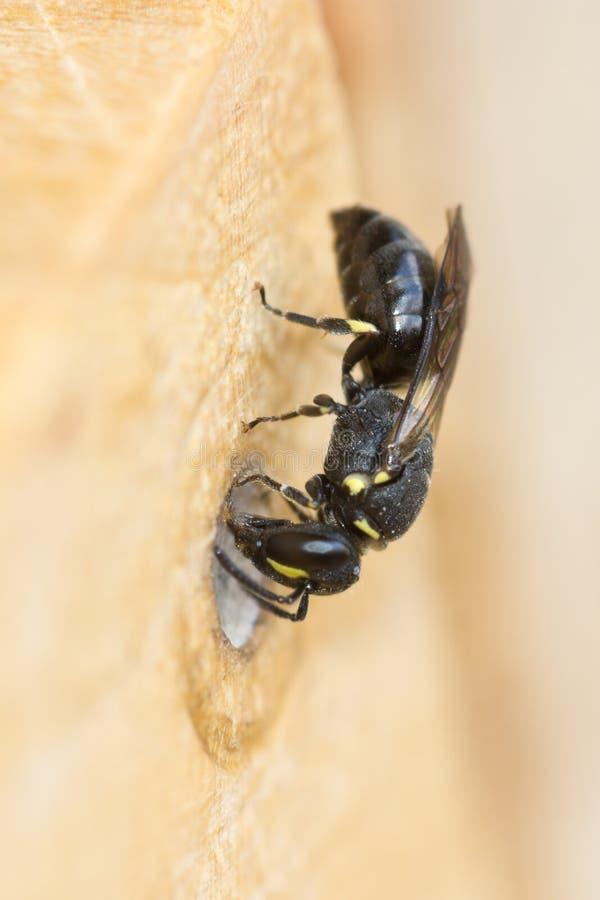 Κοινή μέλισσα κίτρινος-προσώπου στοκ φωτογραφία με δικαίωμα ελεύθερης χρήσης