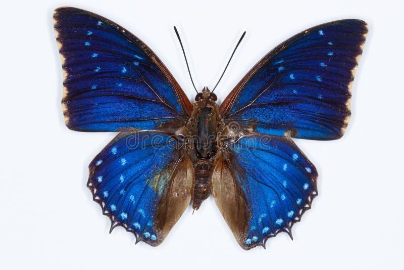 Κοινή μπλε πεταλούδα charaxes, που απομονώνεται στο λευκό στοκ εικόνα με δικαίωμα ελεύθερης χρήσης