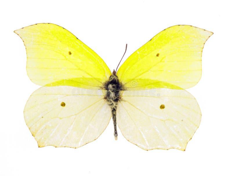 Κοινή πεταλούδα θειαφιού στοκ φωτογραφία