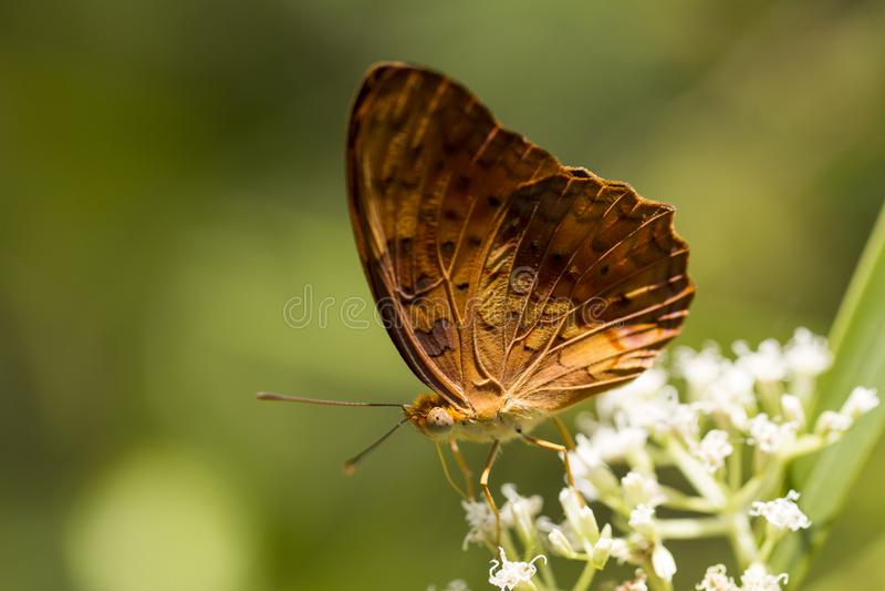 Κοινή πεταλούδα λεοπαρδάλεων - phalantha Phalanta στοκ φωτογραφία