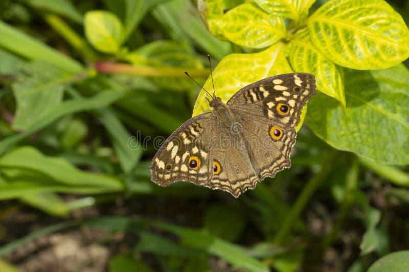 Κοινή πεταλούδα Buckeye κοντά σε Pune, Maharashtra, Ινδία στοκ εικόνες