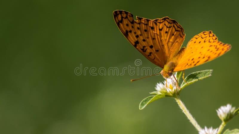 Κοινή πεταλούδα λεοπαρδάλεων στοκ φωτογραφία με δικαίωμα ελεύθερης χρήσης