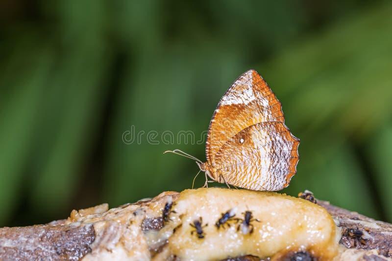 Κοινή πεταλούδα palmfly στοκ φωτογραφίες