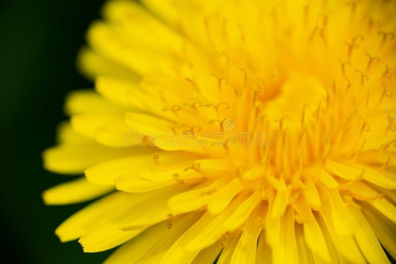 Κοινή πικραλίδα, Taraxacum officinale, ακραία μακροεντολή σε κίτρινο στοκ εικόνα