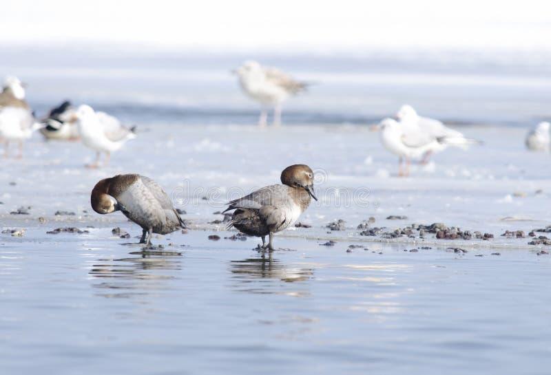 Κοινή σουβλόπαπια (ferina aythya) και seaguls στοκ εικόνα