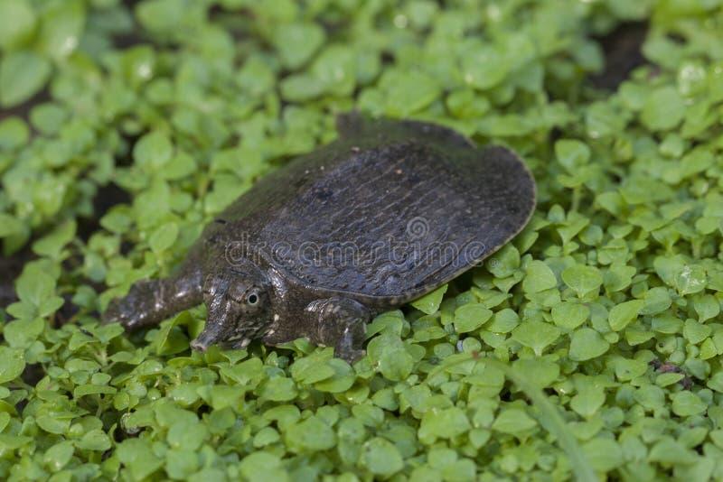 Κοινή χελώνα softshell ή ασιατική χελώνα softshell στοκ φωτογραφία
