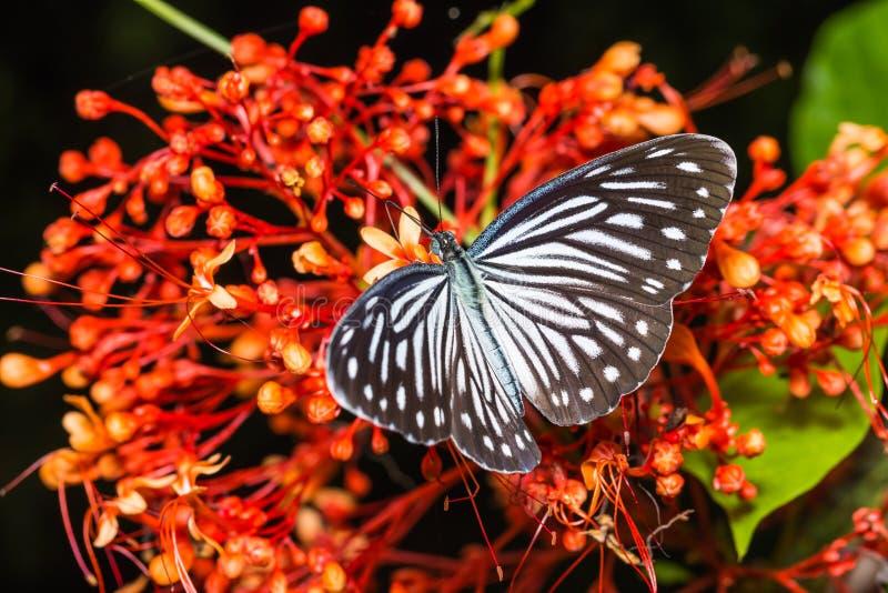 Κοινή wanderer πεταλούδα στοκ εικόνα