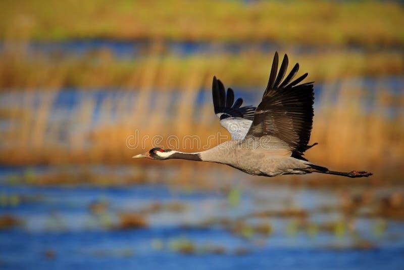 Κοινός γερανός, grus Grus, πετώντας μεγάλο πουλί στο βιότοπο φύσης, Γερμανία στοκ εικόνα με δικαίωμα ελεύθερης χρήσης