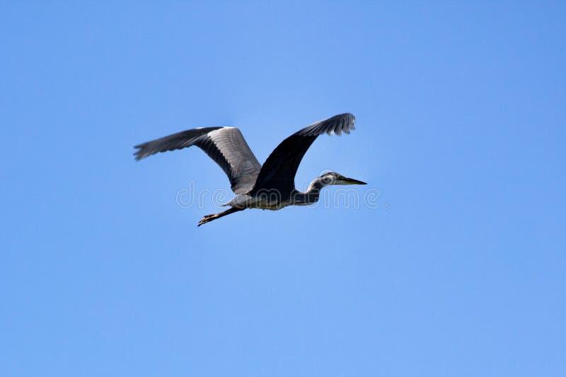 Κοινός ερωδιός (Ardea φαιάς ουσίας) κατά την πτήση στοκ φωτογραφίες με δικαίωμα ελεύθερης χρήσης